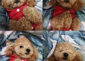 寻狗启示,求求好心人看见糖宝的给我打个电话吧!,它是一只非常可爱的宠物狗狗,希望它早日回家,不要变成流浪狗。