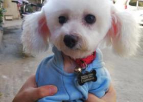 寻狗启示,寻找狗子,白色泰迪,皮皮,它是一只非常可爱的宠物狗狗,希望它早日回家,不要变成流浪狗。