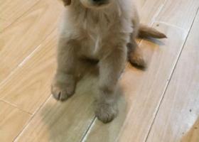 寻狗启示,金毛寻狗启示(江岸水城附近),它是一只非常可爱的宠物狗狗,希望它早日回家,不要变成流浪狗。