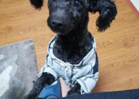 寻狗启示,寻找我家黑色小泰迪,背部有彩色彩绳,名字叫凯迪,它是一只非常可爱的宠物狗狗,希望它早日回家,不要变成流浪狗。