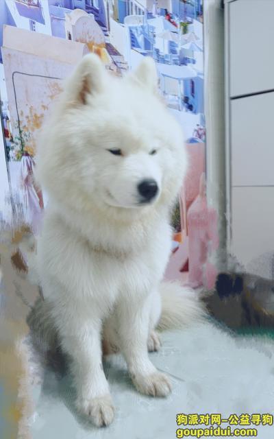深圳寻狗主人,南山村捡到萨摩耶,45斤,它是一只非常可爱的宠物狗狗,希望它早日回家,不要变成流浪狗。