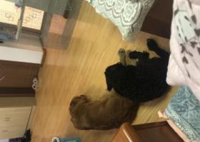 寻狗启示,3.24号晚上在二环立交桥下面捡到的一只大金毛和一只泰迪,它是一只非常可爱的宠物狗狗,希望它早日回家,不要变成流浪狗。