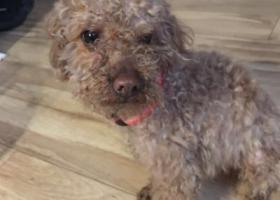 寻狗启示,太平镇凉水井附近,捡到泰迪弟弟,它是一只非常可爱的宠物狗狗,希望它早日回家,不要变成流浪狗。