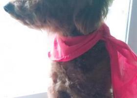 寻狗启示,重庆市大足区3月7日走丢公棕色泰迪犬一只,它是一只非常可爱的宠物狗狗,希望它早日回家,不要变成流浪狗。