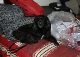 寻狗启示,成都新都大丰寻黑色泰迪,脖子有蓝色项圈。重谢5000元,它是一只非常可爱的宠物狗狗,希望它早日回家,不要变成流浪狗。