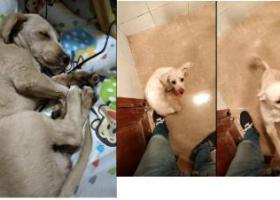 寻狗启示,上海真南路交通路附近丢失爱犬,它是一只非常可爱的宠物狗狗,希望它早日回家,不要变成流浪狗。