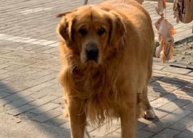 寻狗启示,南京市下关区金陵小区丢失一只金毛,它是一只非常可爱的宠物狗狗,希望它早日回家,不要变成流浪狗。