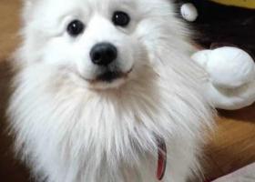 寻狗启示,寻狗!!!!一只成年萨摩耶在铜仁玉屏茅坪大桥走失,提供信息或者找到狗子必有重谢!!!!,它是一只非常可爱的宠物狗狗,希望它早日回家,不要变成流浪狗。