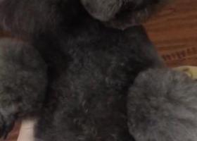 寻狗启示,寻狗启示 寻找丢失的泰迪,它是一只非常可爱的宠物狗狗,希望它早日回家,不要变成流浪狗。