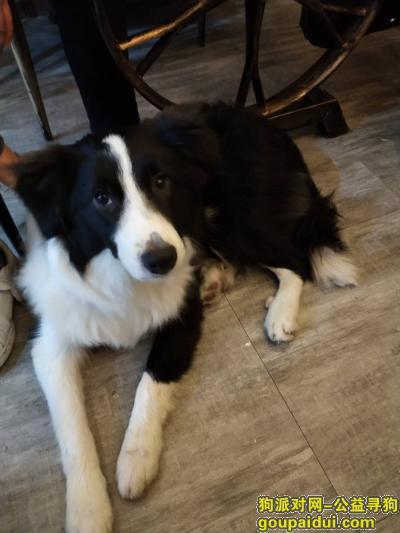衡阳找狗,寻找爱犬小七(7个月小公边牧),急!急!急!,它是一只非常可爱的宠物狗狗,希望它早日回家,不要变成流浪狗。