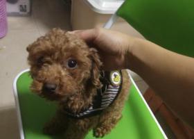 寻狗启示,2019年3月29日晚上在东莞黎贝岭村嘉禾四季大厦遗失泰迪犬,它是一只非常可爱的宠物狗狗,希望它早日回家,不要变成流浪狗。