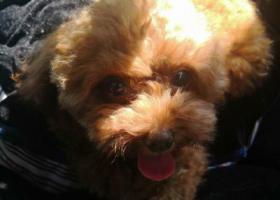 寻狗启示,福州金山榕城广场寻棕色母泰迪,它是一只非常可爱的宠物狗狗,希望它早日回家,不要变成流浪狗。