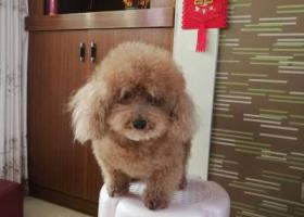 寻狗启示,球球,母泰迪,陪伴了我六年多,愿高价买回!!,它是一只非常可爱的宠物狗狗,希望它早日回家,不要变成流浪狗。