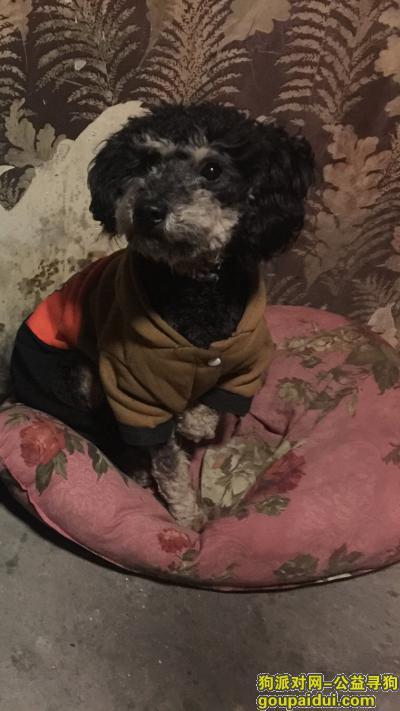 【扬州找狗】,2019年3月31日黑色泰迪点点,它是一只非常可爱的宠物狗狗,希望它早日回家,不要变成流浪狗。