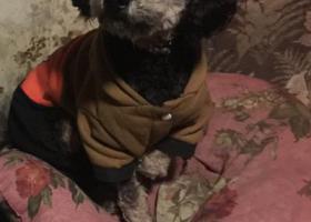 寻狗启示,2019年3月31日黑色泰迪点点,它是一只非常可爱的宠物狗狗,希望它早日回家,不要变成流浪狗。