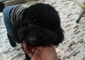 寻狗启示,重谢寻找黑色泰迪,家人很想他,希望他早日回家,它是一只非常可爱的宠物狗狗,希望它早日回家,不要变成流浪狗。
