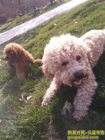 淮北找狗,名叫帅帅,有一个红绳系着的铃铛,毛色很浅,身形不大,它是一只非常可爱的宠物狗狗,希望它早日回家,不要变成流浪狗。
