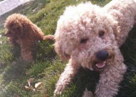 寻狗启示,名叫帅帅,有一个红绳系着的铃铛,毛色很浅,身形不大,它是一只非常可爱的宠物狗狗,希望它早日回家,不要变成流浪狗。
