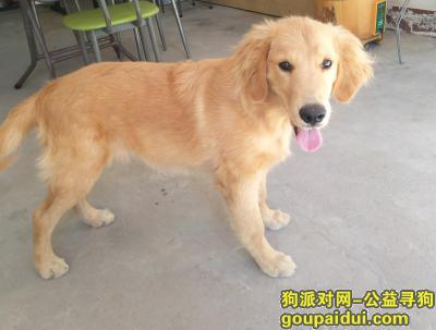 ,寻狗启示/金毛/布丁,它是一只非常可爱的宠物狗狗,希望它早日回家,不要变成流浪狗。