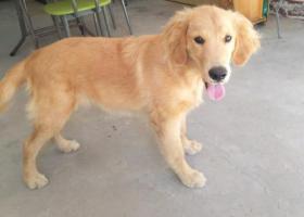 寻狗启示,寻狗启示/金毛/布丁,它是一只非常可爱的宠物狗狗,希望它早日回家,不要变成流浪狗。
