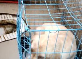 寻狗启示,寻找幼犬拉布拉多由于太小可能被人抱回家,它是一只非常可爱的宠物狗狗,希望它早日回家,不要变成流浪狗。