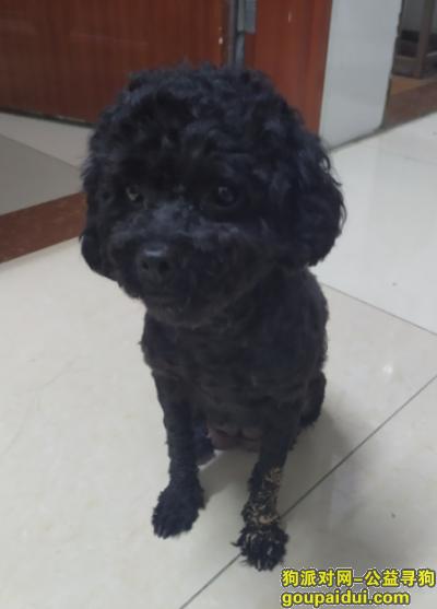 惠州找狗主人,4月3号惠城区捡到黑色泰迪,它是一只非常可爱的宠物狗狗,希望它早日回家,不要变成流浪狗。
