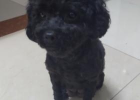 寻狗启示,4月3号惠城区捡到黑色泰迪,它是一只非常可爱的宠物狗狗,希望它早日回家,不要变成流浪狗。