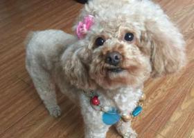 寻狗启示,有偿寻找棕色泰迪狗  豆豆,它是一只非常可爱的宠物狗狗,希望它早日回家,不要变成流浪狗。