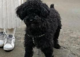 寻狗启示,寻找黑色小泰迪,找到必有重谢,它是一只非常可爱的宠物狗狗,希望它早日回家,不要变成流浪狗。