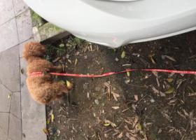 寻狗启示,小型泰迪 重庆沙坪坝图书馆捡到,它是一只非常可爱的宠物狗狗,希望它早日回家,不要变成流浪狗。