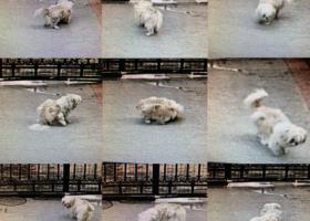 寻狗启示,江门新会骏景湾旭涛雅轩附近寻狗,它是一只非常可爱的宠物狗狗,希望它早日回家,不要变成流浪狗。