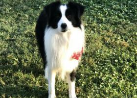 寻狗启示,绵阳高新区成年边牧公犬,它是一只非常可爱的宠物狗狗,希望它早日回家,不要变成流浪狗。