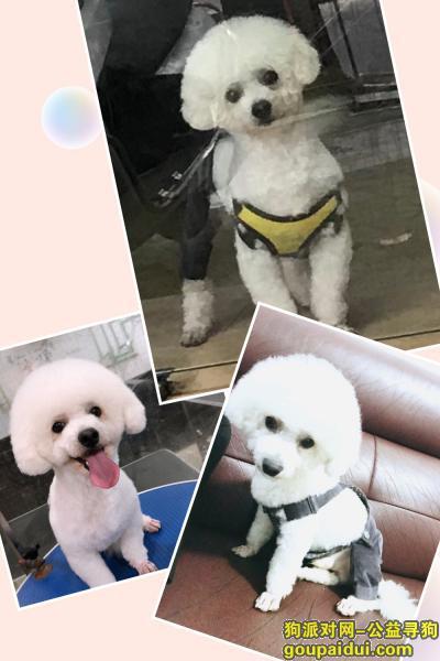 ,丢失卷毛小白狗比熊泰迪贵宾,它是一只非常可爱的宠物狗狗,希望它早日回家,不要变成流浪狗。