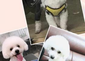 寻狗启示,丢失卷毛小白狗比熊泰迪贵宾,它是一只非常可爱的宠物狗狗,希望它早日回家,不要变成流浪狗。