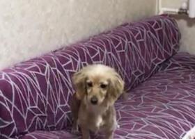 寻狗启示,黄色英卡小母犬东环路西丢失,它是一只非常可爱的宠物狗狗,希望它早日回家,不要变成流浪狗。