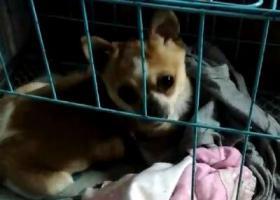 寻狗启示,吉娃娃,4月4日深夜丢,它是一只非常可爱的宠物狗狗,希望它早日回家,不要变成流浪狗。