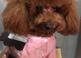 寻狗启示,5000元酬谢,狗狗名字叫毛毛,腿比其他泰迪要长,它是一只非常可爱的宠物狗狗,希望它早日回家,不要变成流浪狗。