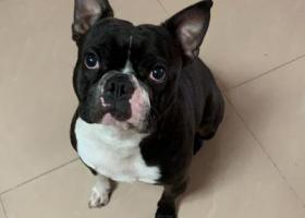 寻狗启示,中山市城区有偿寻狗,有偿找狗,它是一只非常可爱的宠物狗狗,希望它早日回家,不要变成流浪狗。