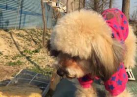 寻狗启示,桐乡濮院大高纺织科技有限公司附近走失香槟色贵宾穿红色衣服名字叫小天找到必有重谢,它是一只非常可爱的宠物狗狗,希望它早日回家,不要变成流浪狗。