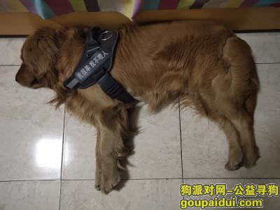 ,山西省朔州市寻找爱犬金毛,它是一只非常可爱的宠物狗狗,希望它早日回家,不要变成流浪狗。