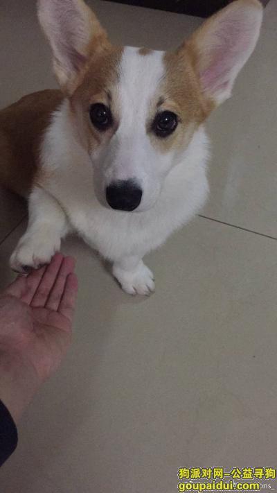 永州找狗,[cp]湖南永州零陵区萍阳花园内(朝阳派出所旁)遗失一七个月大,双色柯基,名叫泡芙,它是一只非常可爱的宠物狗狗,希望它早日回家,不要变成流浪狗。