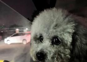 寻狗启示,天河棠东丢失灰色贵宾,它是一只非常可爱的宠物狗狗,希望它早日回家,不要变成流浪狗。