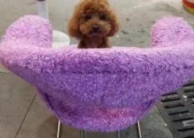 寻狗启示,寻找我家㤗迪,毛棕色(公的),它是一只非常可爱的宠物狗狗,希望它早日回家,不要变成流浪狗。