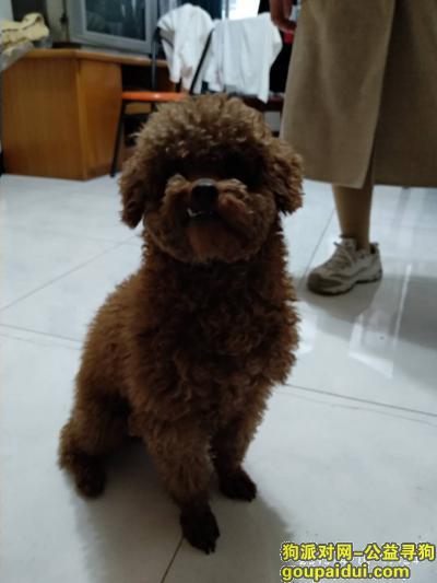 铜陵寻狗网,铜陵新苑小区捡到泰迪公狗,它是一只非常可爱的宠物狗狗,希望它早日回家,不要变成流浪狗。