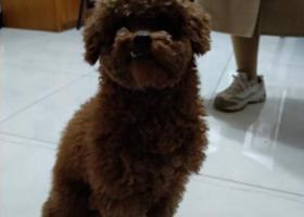 寻狗启示,铜陵新苑小区捡到泰迪公狗,它是一只非常可爱的宠物狗狗,希望它早日回家,不要变成流浪狗。