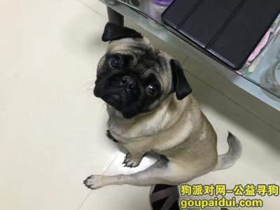绍兴找狗,柯桥华舍丢失巴哥犬一只,它是一只非常可爱的宠物狗狗,希望它早日回家,不要变成流浪狗。