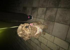 寻狗启示,寻泰迪主人 青岛市 四方区 兴隆路 附近,它是一只非常可爱的宠物狗狗,希望它早日回家,不要变成流浪狗。