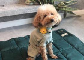 寻狗启示,找狗—浅黄色泰迪 身穿浅绿色衣服,它是一只非常可爱的宠物狗狗,希望它早日回家,不要变成流浪狗。
