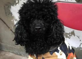 寻狗启示,2019.4.10晚黑色泰迪走失急!!!,它是一只非常可爱的宠物狗狗,希望它早日回家,不要变成流浪狗。