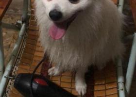 寻狗启示,白色公博美丢失,重金求找回,它是一只非常可爱的宠物狗狗,希望它早日回家,不要变成流浪狗。